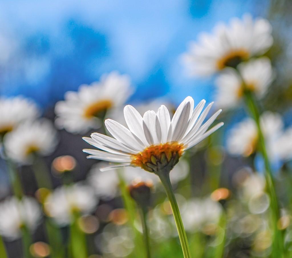 Daisy, daisy by sherimiya