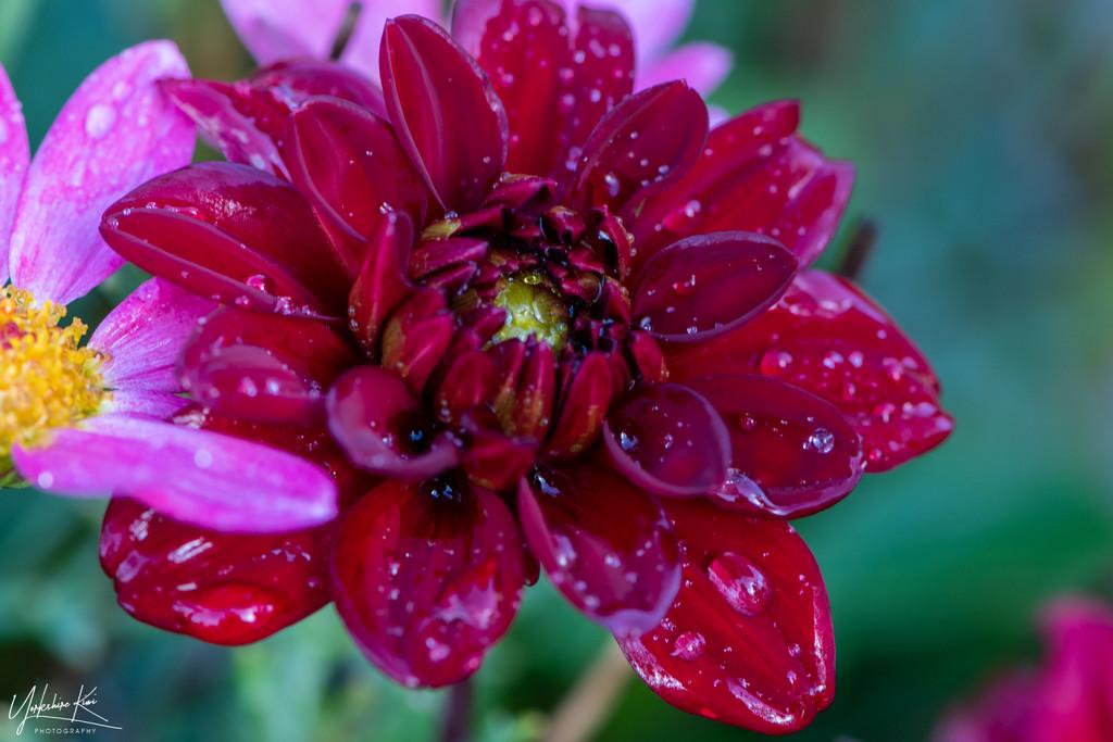 Dahlia in the rain by yorkshirekiwi