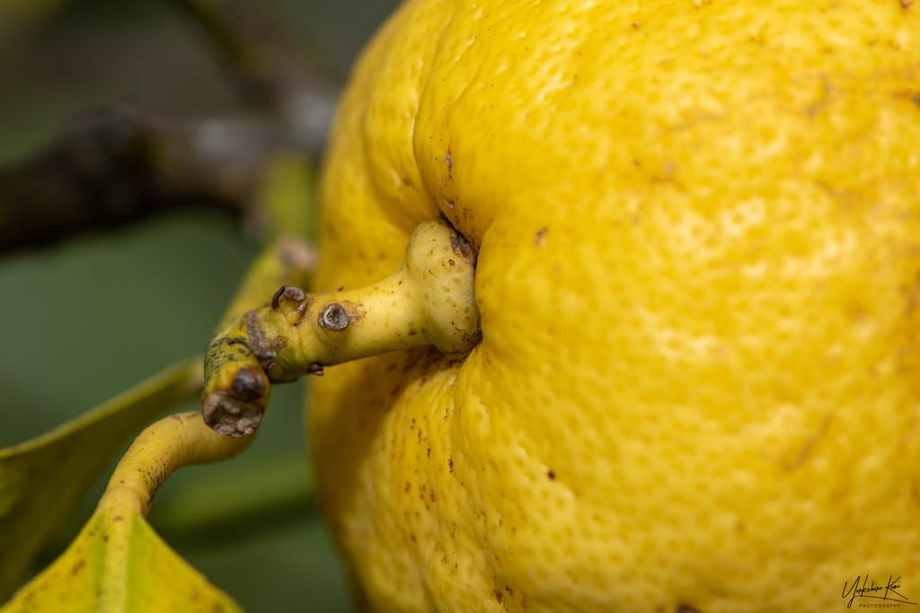 Lemon by yorkshirekiwi