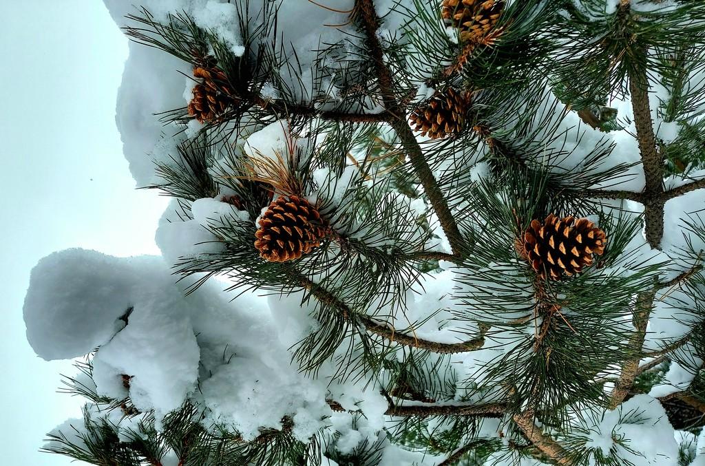 Pinecones  by harbie
