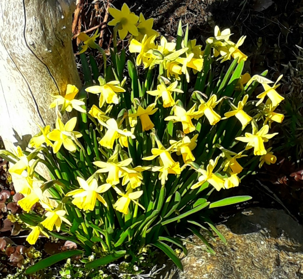 Miniature daffodils by mave