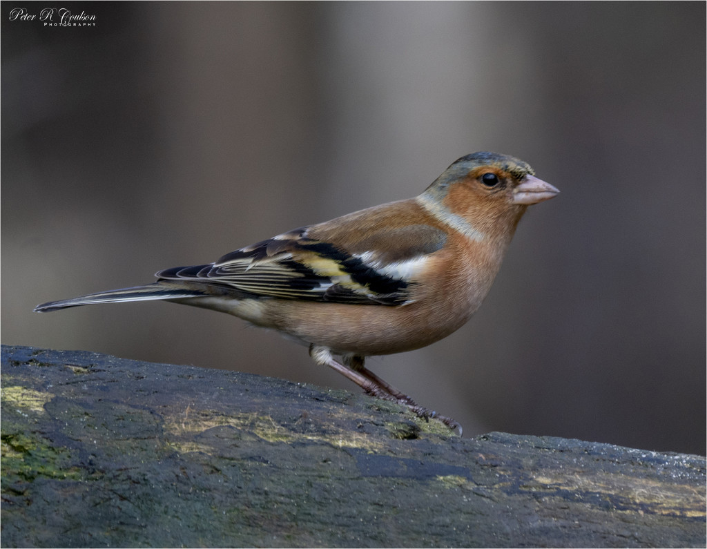 Chaffinch by pcoulson