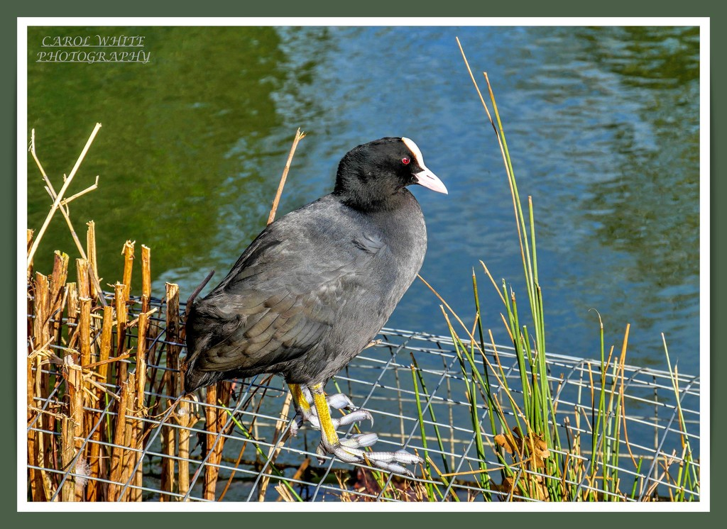 Coot by carolmw