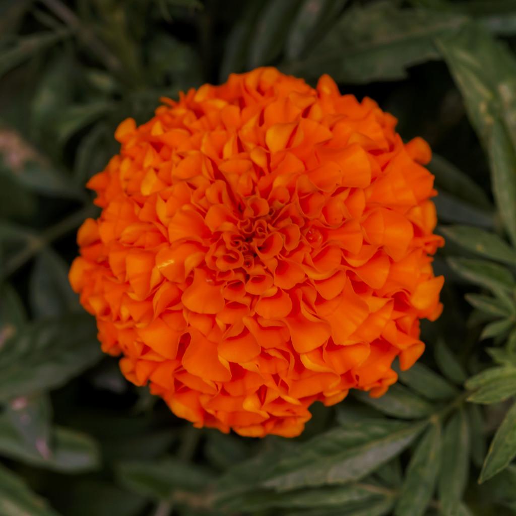 Marigold by kvphoto