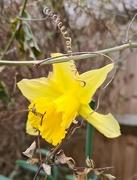 3rd Mar 2021 - Lonely Daffodil