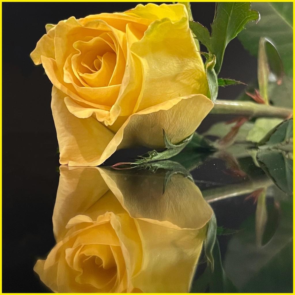 Yellow Rose by shutterbug49