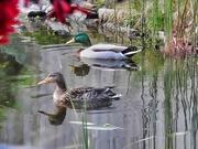 2nd Mar 2021 -   Visiting Ducks