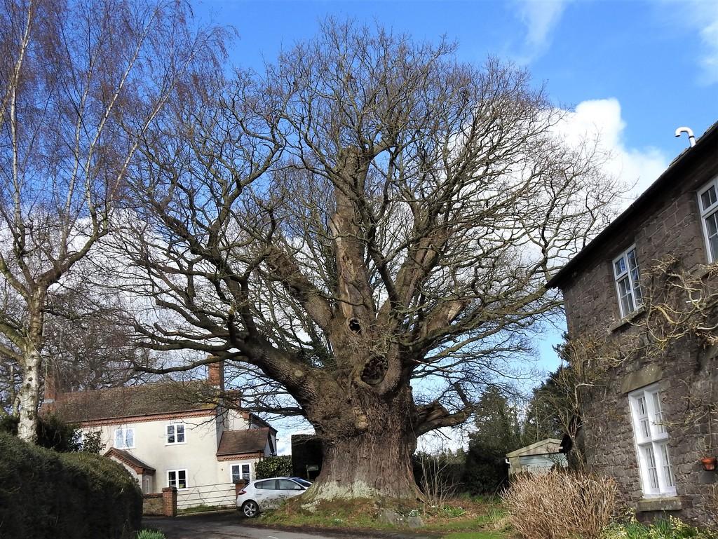 The Great Oak, Eardisley  by susiemc
