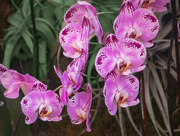1st Mar 2021 - The Orchid Garden - NYBG