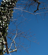3rd Mar 2021 - Buds on the maple tree