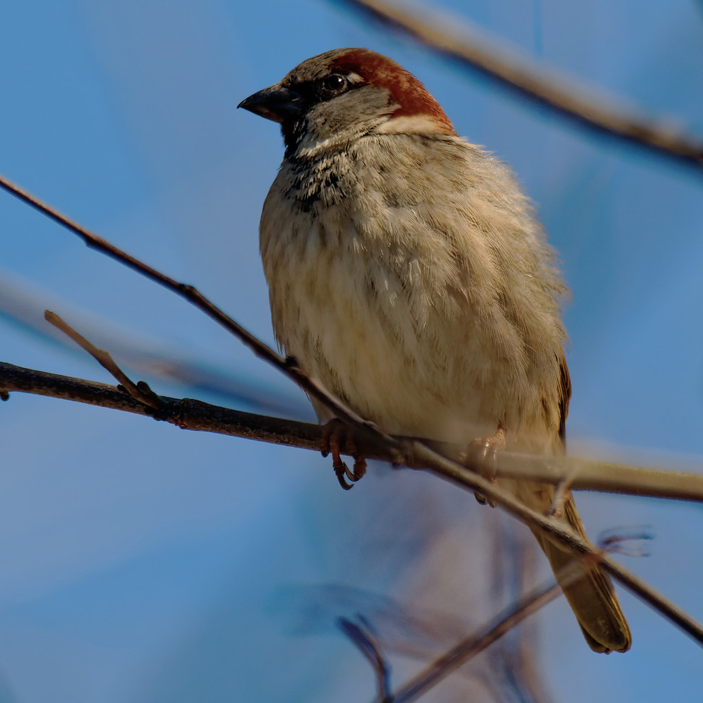 male house sparrow by rminer