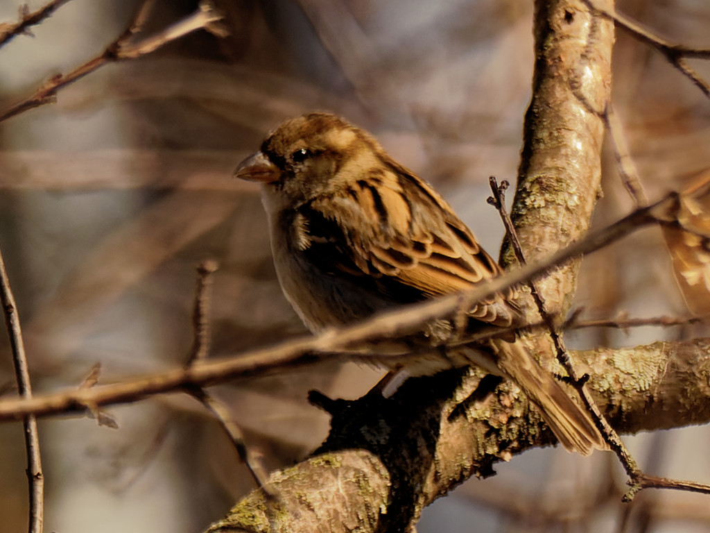 female house sparrow  by rminer
