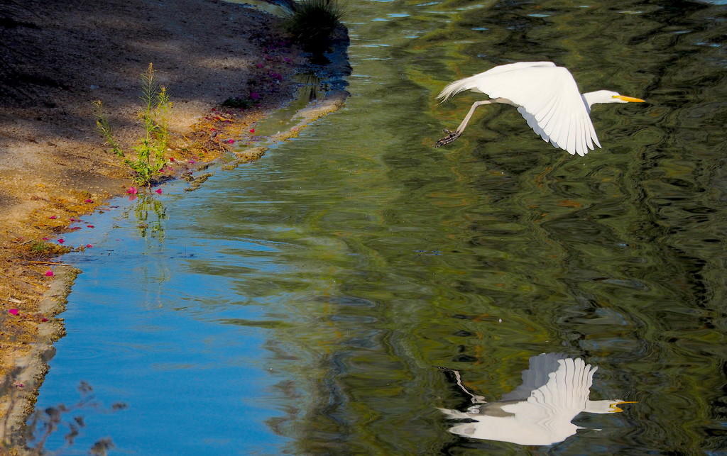 An Egret Flew By by redy4et