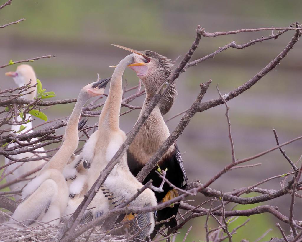Anhinga mom feeding babies  by dutchothotmailcom