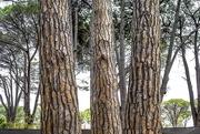 4th Mar 2021 - Pine Trees