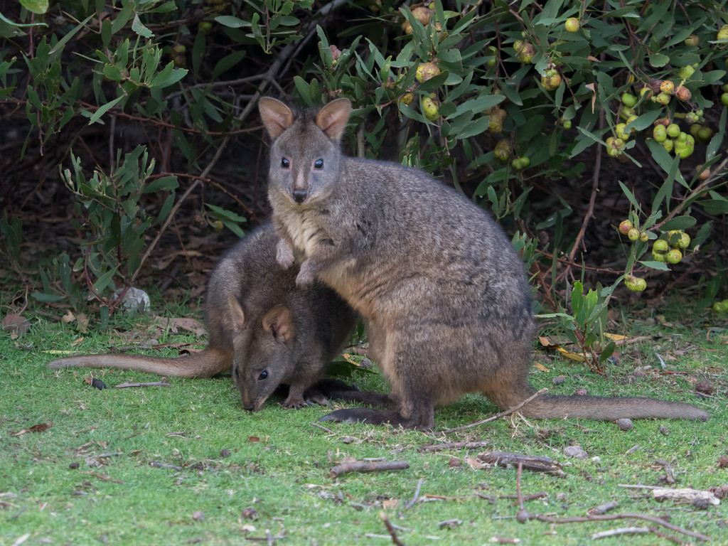 Pademelons or Wallabies? by gosia