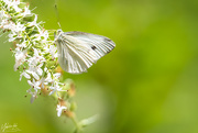 4th Mar 2021 - Cabbage white
