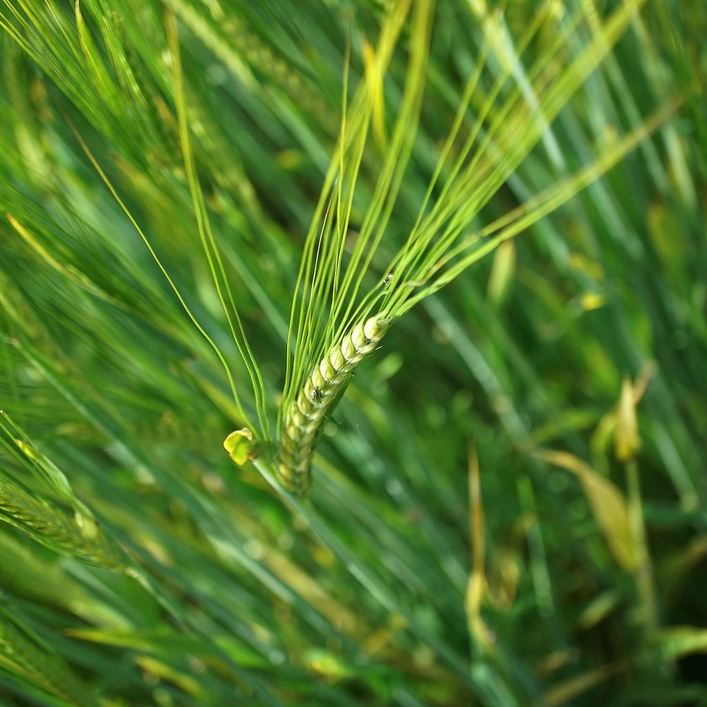 ears of wheat by quietpurplehaze