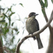 Young Kookaburra or butcher bird