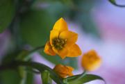 4th Mar 2021 - 0304 Chincherichi Flower
