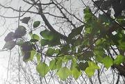 4th Mar 2021 - Backlit Leaves