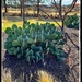 """Prickly pear cactus without the """"prickles"""""""