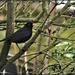 Bobbie Blackbird