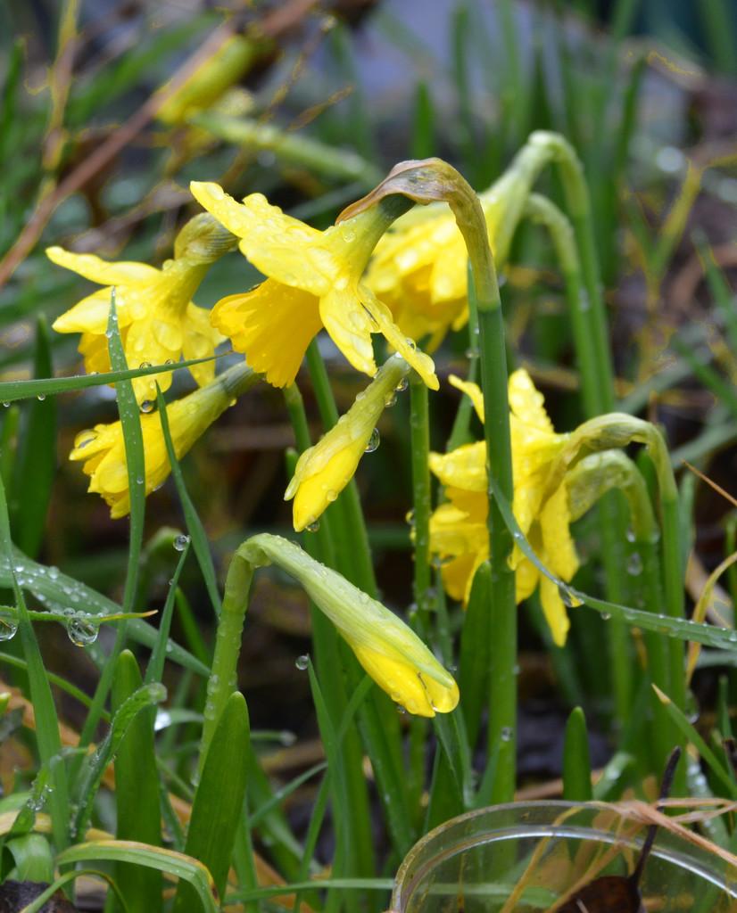 Tete-a-Tete Daffodils by arkensiel