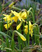 4th Mar 2021 - Tete-a-Tete Daffodils
