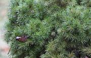 4th Mar 2021 - Green Alberta Spruce
