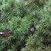 Green Alberta Spruce