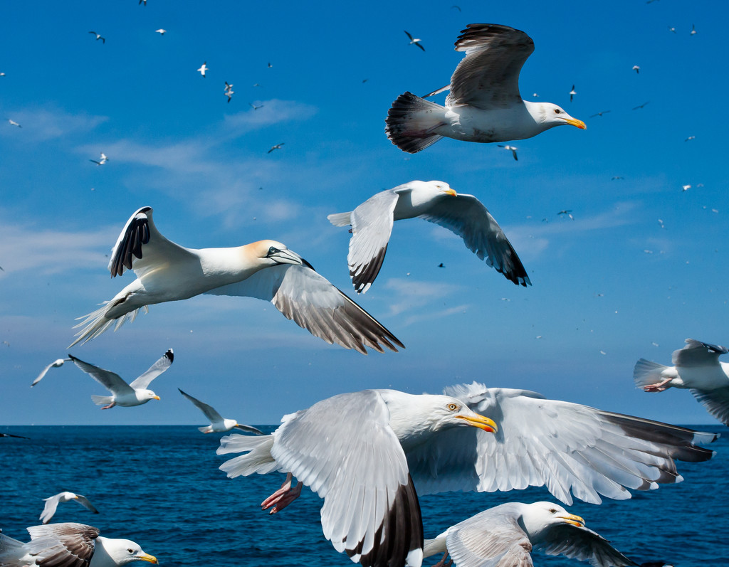 Extras - Gannet and Gulls by pamknowler