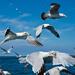 Extras - Gannet and Gulls