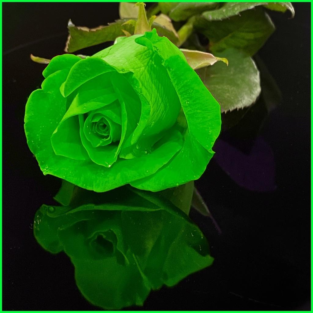 Green rose by shutterbug49