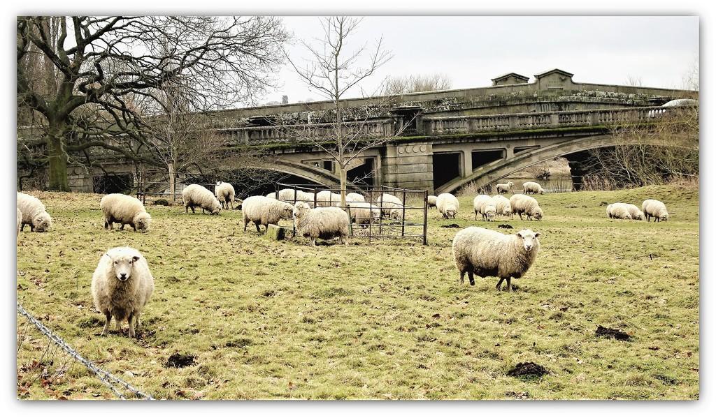 Sheep @ Atcham  by beryl