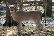 4th Mar 2021 - Deer