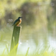4th Mar 2021 - Kingfisher on a post