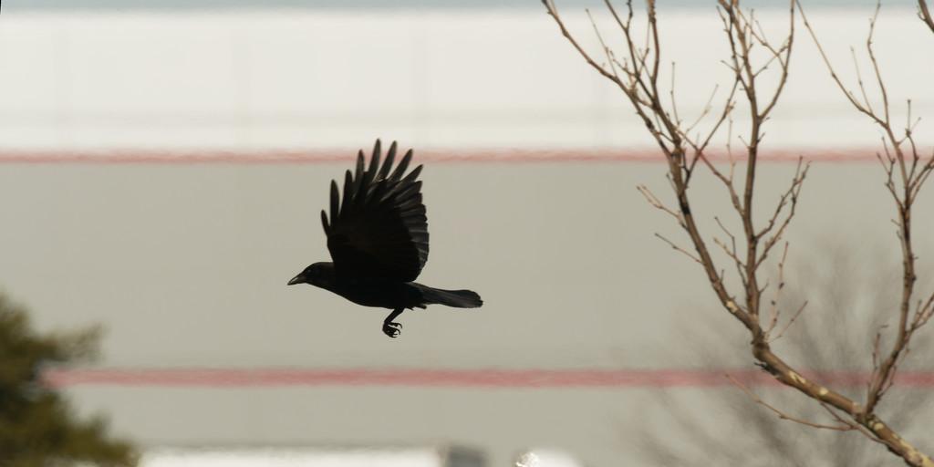 American crow in flight by rminer