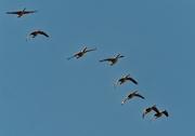 4th Mar 2021 - Canada geese