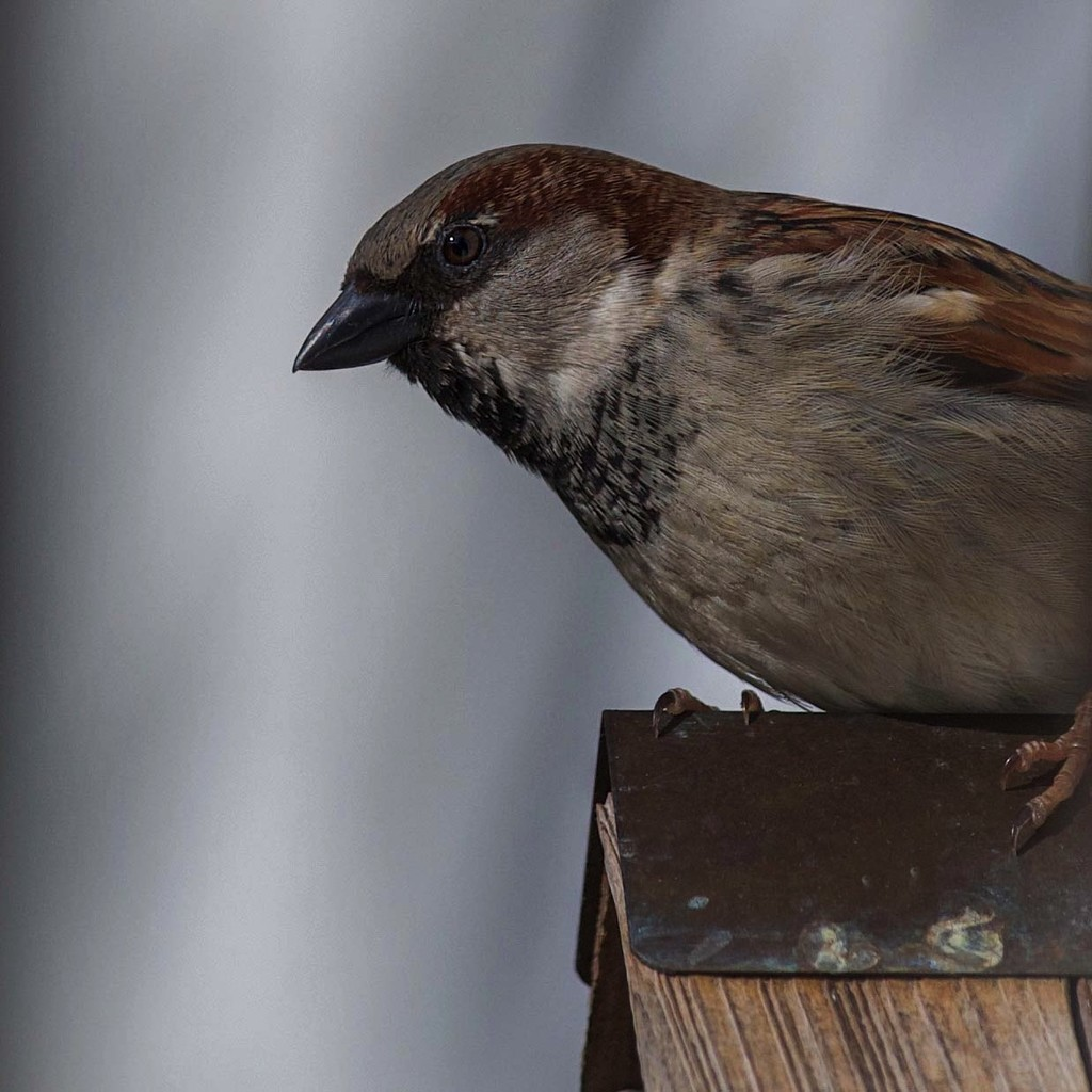 Sparrow Sentry by berelaxed