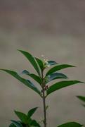 4th Mar 2021 - Tea Olive blooming...