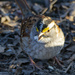 White Throated Sparrow
