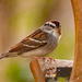 Chipping Sparrow!