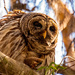 Barred Owl, All Puffed Up!