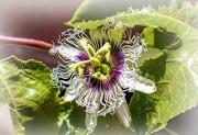 5th Mar 2021 - Passion fruit flower