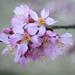 Pretty Redbud Blooms
