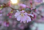 4th Mar 2021 - Redbud blooms
