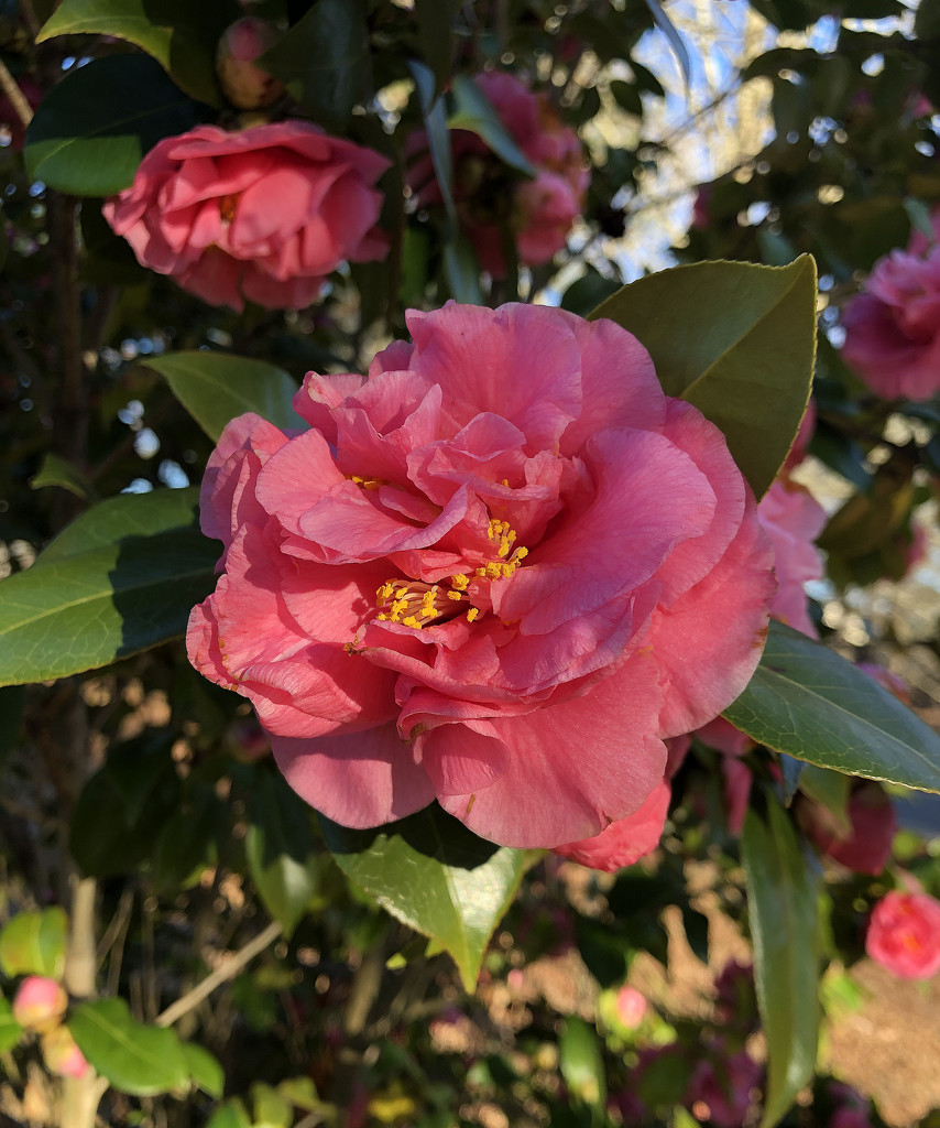 Camellias in the sunshine by homeschoolmom