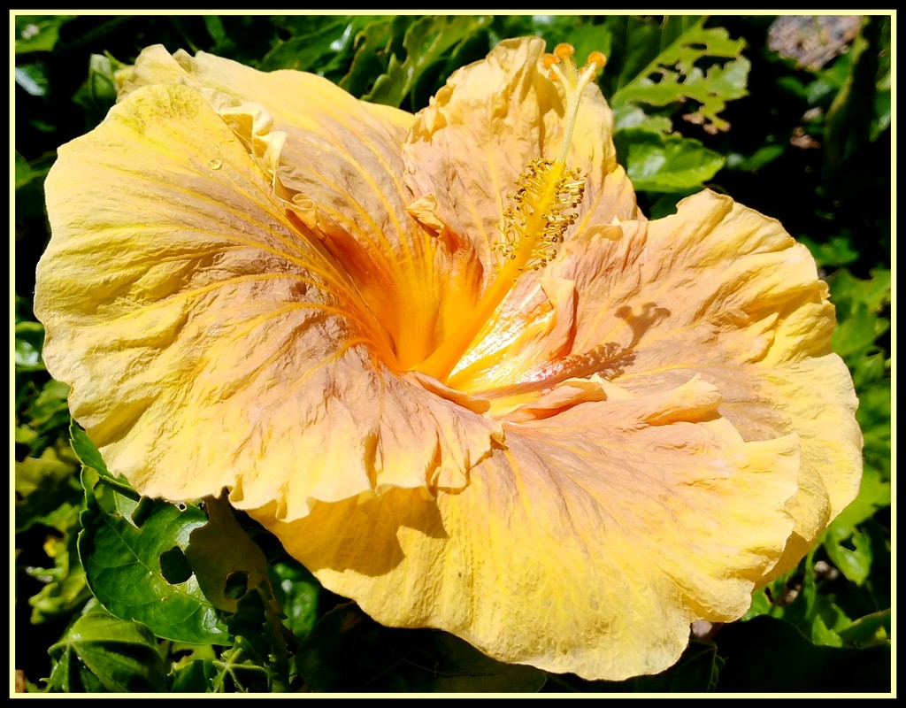 Unusual yellow & brown Hibiscus by 777margo