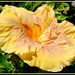 Unusual yellow & brown Hibiscus